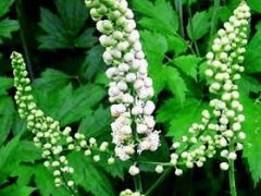 Black Cohosh Tea Benefits