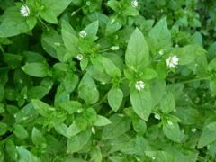 Chickweed Tea Benefits