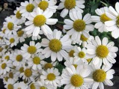 Feverfew Tea Benefits