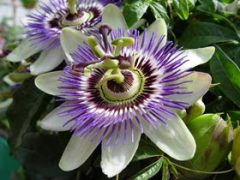 Passion Flower Tea Benefits