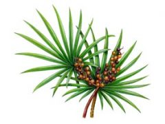 Saw Palmetto Tea Benefits